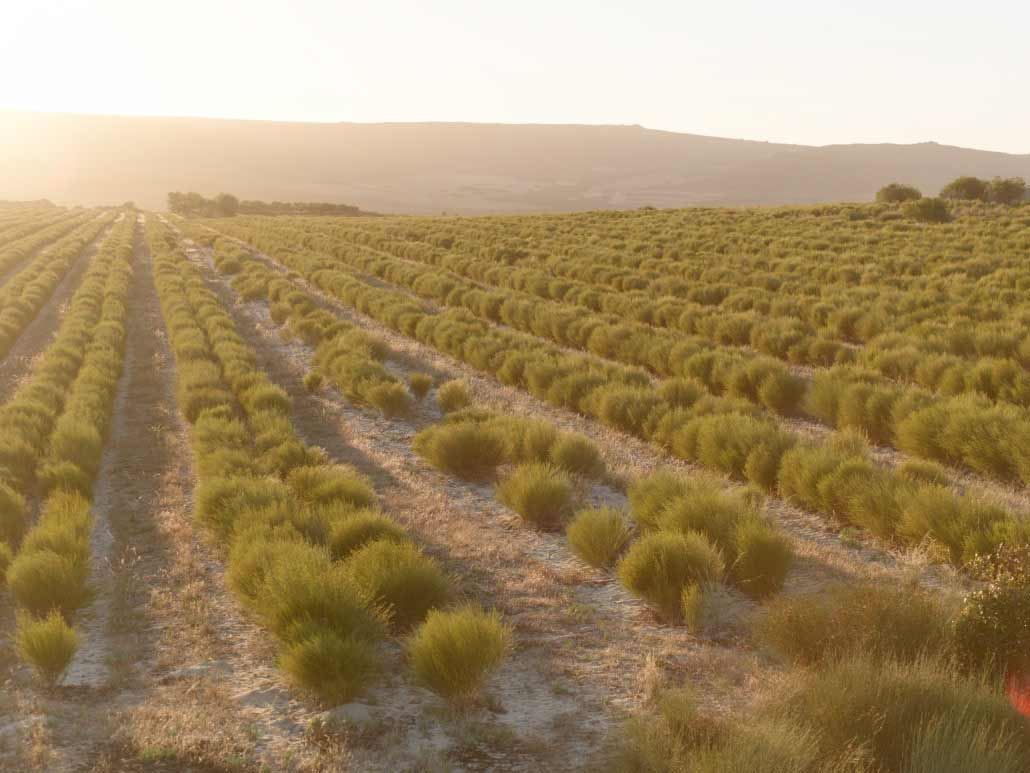 Rows of rooibos tea growing