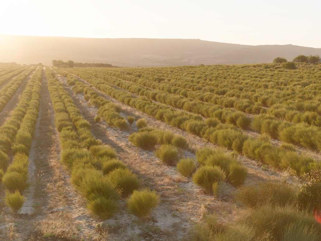 Rows of rooibos tea growing